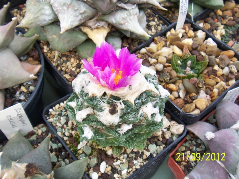 Cacti and Sukkulent in Köln, every day new flowers in the greenhouse Part 36 Bild_590