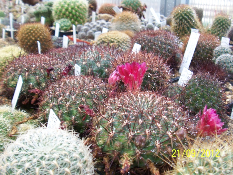 Cacti and Sukkulent in Köln, every day new flowers in the greenhouse Part 36 Bild_592