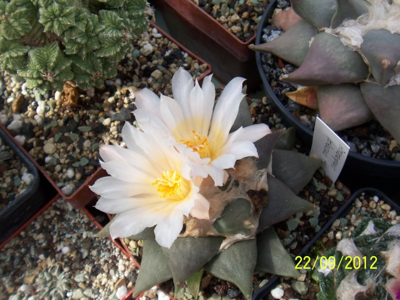 Cacti and Sukkulent in Köln, every day new flowers in the greenhouse Part 37 Bild_604