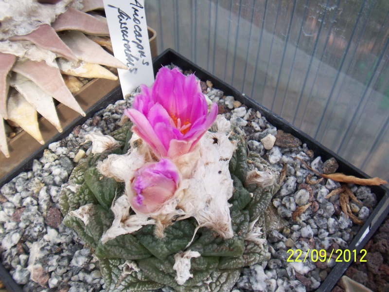 Cacti and Sukkulent in Köln, every day new flowers in the greenhouse Part 37 Bild_606
