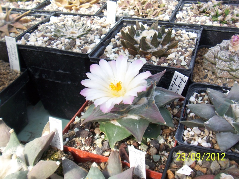 Cacti and Sukkulent in Köln, every day new flowers in the greenhouse Part 37 Bild_609