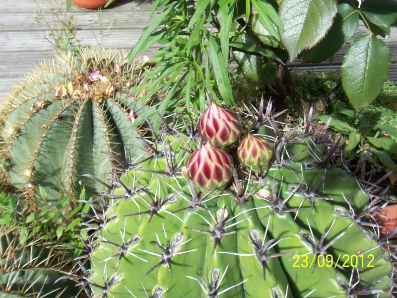 Cacti and Sukkulent in Köln, every day new flowers in the greenhouse Part 37 Bild_615