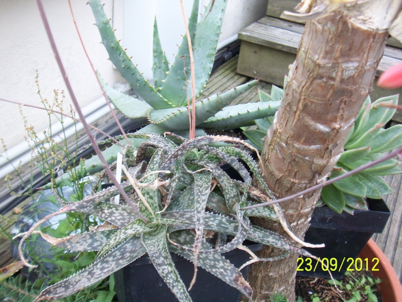 Cacti and Sukkulent in Köln, every day new flowers in the greenhouse Part 37 Bild_619
