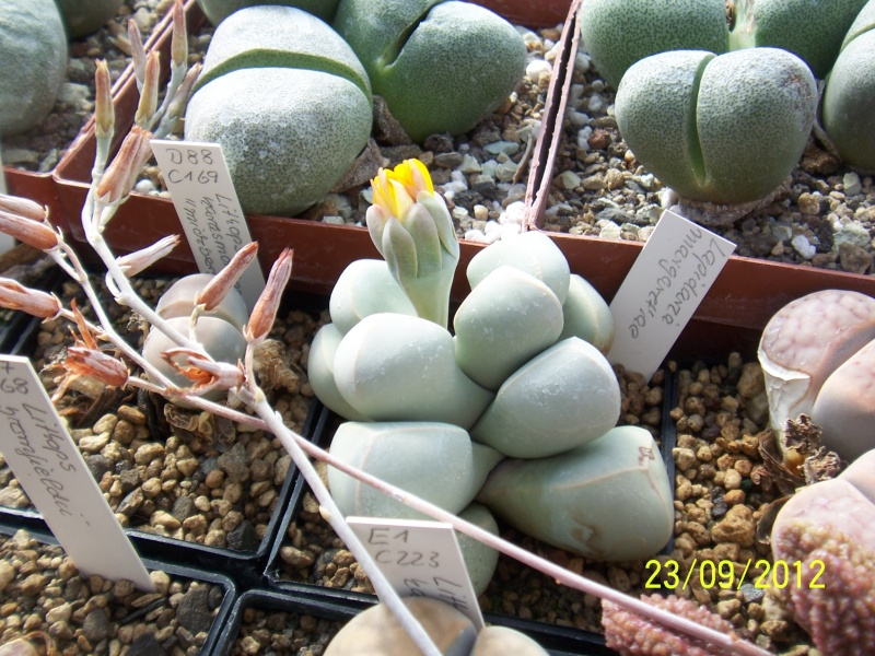 Cacti and Sukkulent in Köln, every day new flowers in the greenhouse Part 37 Bild_620