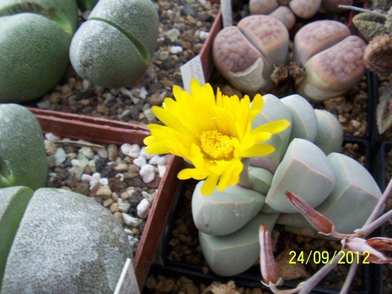 Cacti and Sukkulent in Köln, every day new flowers in the greenhouse Part 37 Bild_621