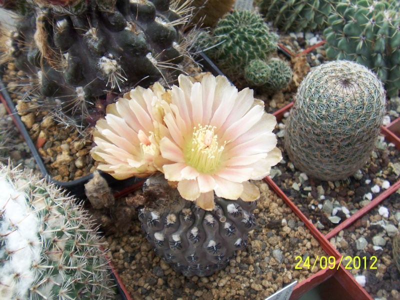 Cacti and Sukkulent in Köln, every day new flowers in the greenhouse Part 37 Bild_622