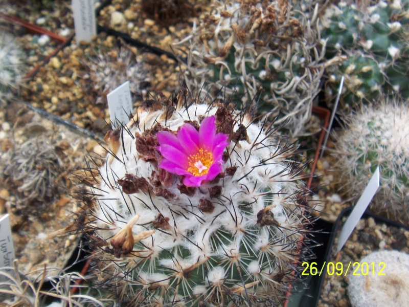 Cacti and Sukkulent in Köln, every day new flowers in the greenhouse Part 37 Bild_624