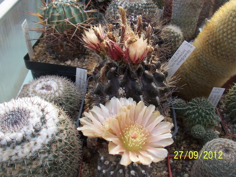 Cacti and Sukkulent in Köln, every day new flowers in the greenhouse Part 37 Bild_642