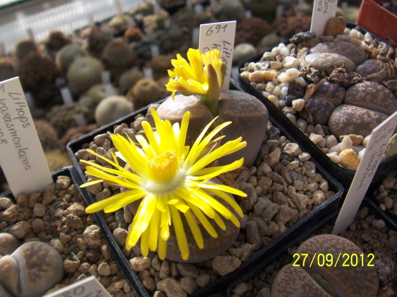 Cacti and Sukkulent in Köln, every day new flowers in the greenhouse Part 37 Bild_646