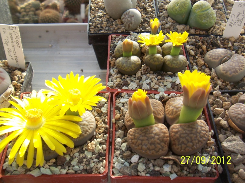Cacti and Sukkulent in Köln, every day new flowers in the greenhouse Part 37 Bild_647