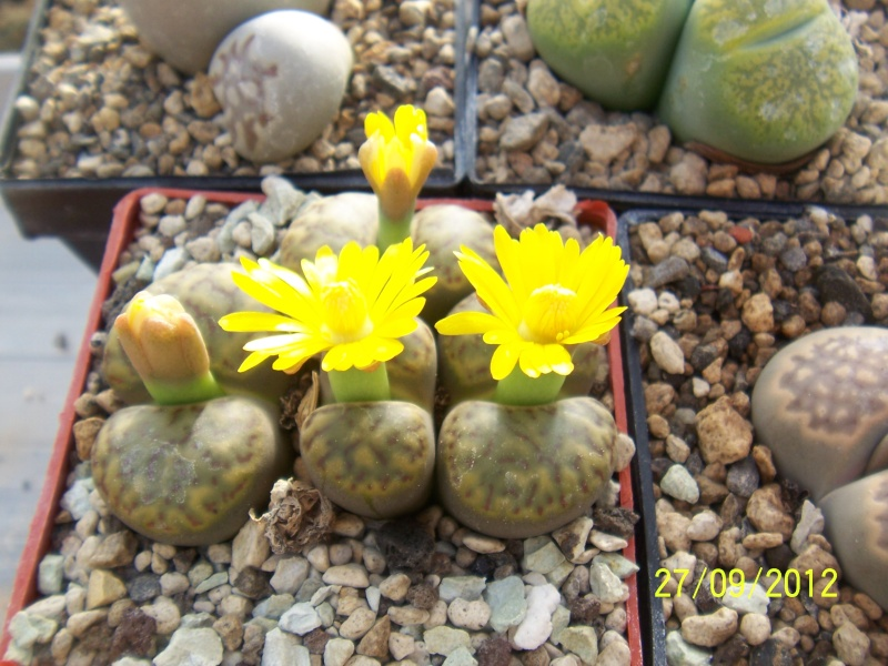 Cacti and Sukkulent in Köln, every day new flowers in the greenhouse Part 37 Bild_648