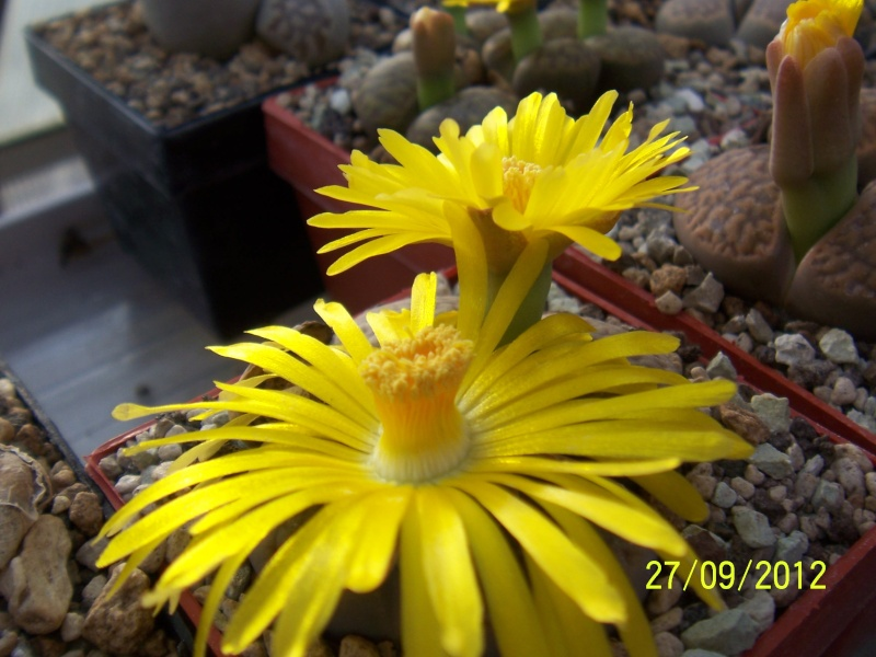 Cacti and Sukkulent in Köln, every day new flowers in the greenhouse Part 37 Bild_649