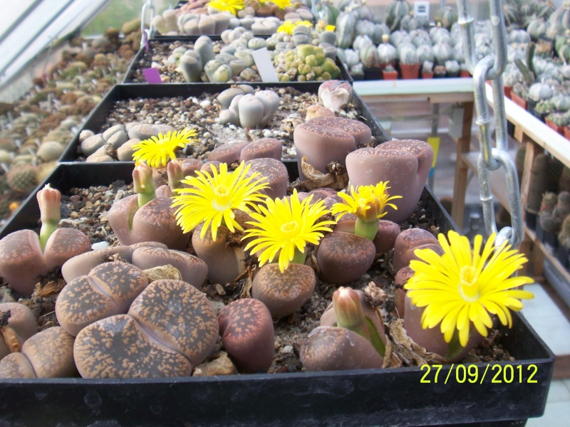 Cacti and Sukkulent in Köln, every day new flowers in the greenhouse Part 37 Bild_651