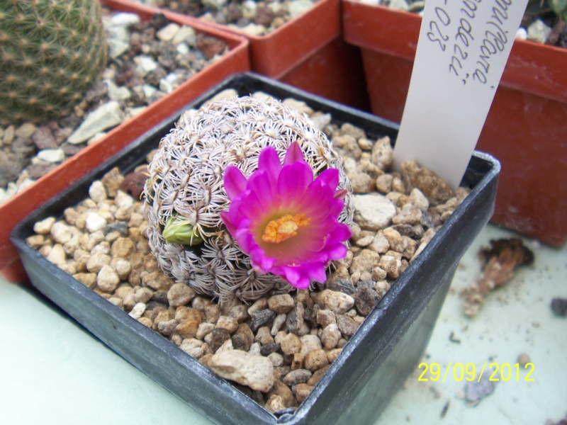 Cacti and Sukkulent in Köln, every day new flowers in the greenhouse Part 37 Bild_656