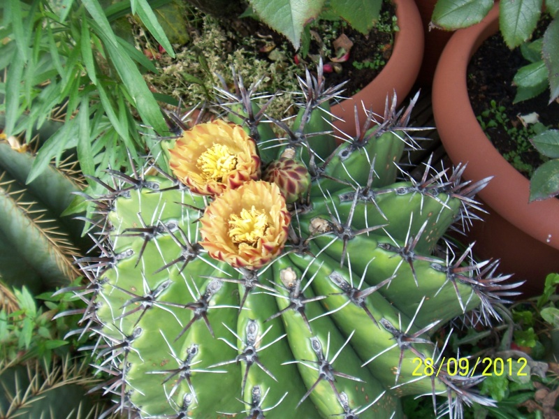 Cacti and Sukkulent in Köln, every day new flowers in the greenhouse Part 37 Bild_657