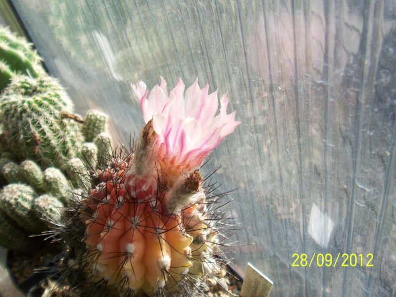 Cacti and Sukkulent in Köln, every day new flowers in the greenhouse Part 37 Bild_661