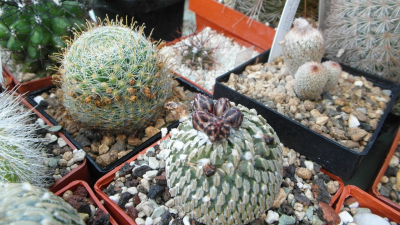Cacti and Sukkulent in Köln, every day new flowers in the greenhouse Part 38 Bild_664