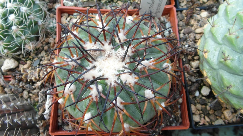 Cacti and Sukkulent in Köln, every day new flowers in the greenhouse Part 38 Bild_671
