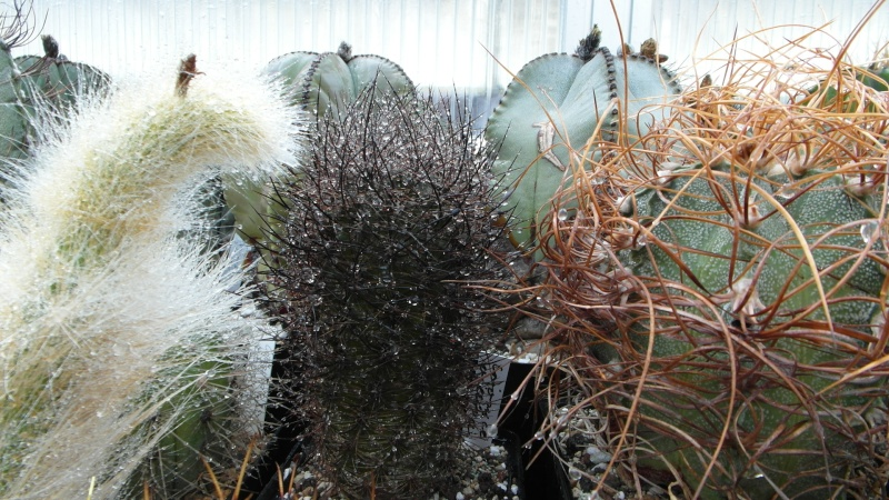 Cacti and Sukkulent in Köln, every day new flowers in the greenhouse Part 38 Bild_677