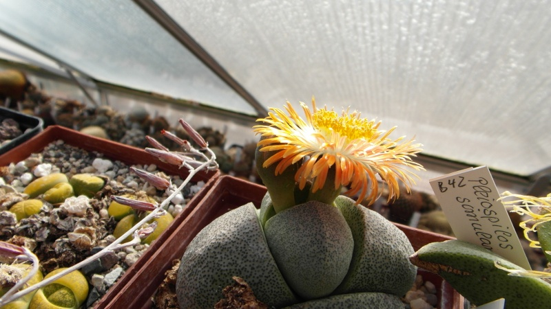 Cacti and Sukkulent in Köln, every day new flowers in the greenhouse Part 38 Bild_686