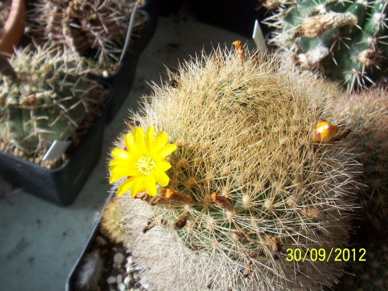 Cacti and Sukkulent in Köln, every day new flowers in the greenhouse Part 38 Bild_705