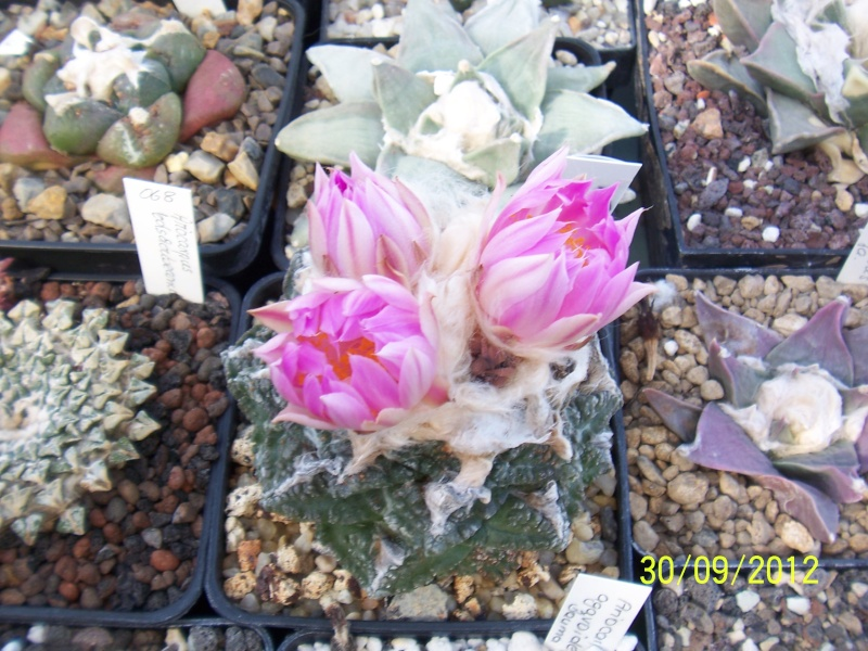 Cacti and Sukkulent in Köln, every day new flowers in the greenhouse Part 38 Bild_706