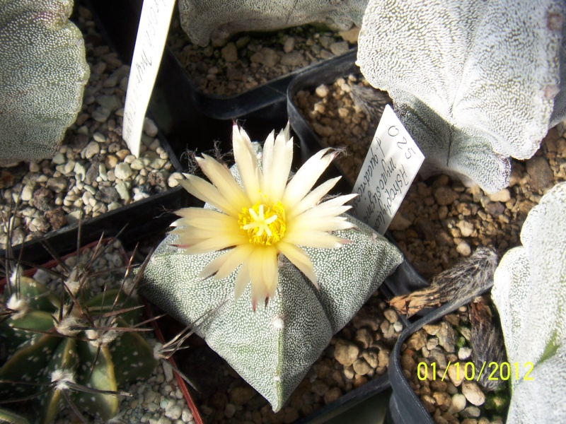Cacti and Sukkulent in Köln, every day new flowers in the greenhouse Part 38 Bild_716