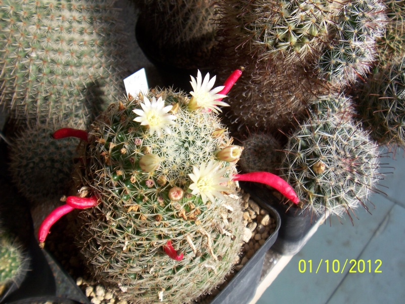 Cacti and Sukkulent in Köln, every day new flowers in the greenhouse Part 38 Bild_726
