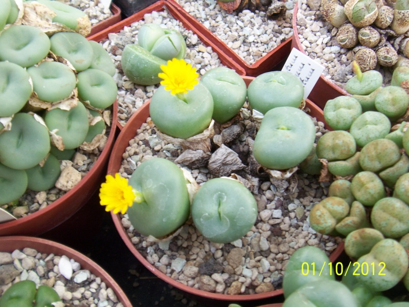 Cacti and Sukkulent in Köln, every day new flowers in the greenhouse Part 38 Bild_729