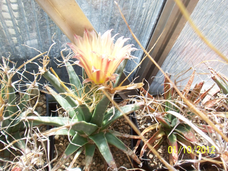 Cacti and Sukkulent in Köln, every day new flowers in the greenhouse Part 38 Bild_734