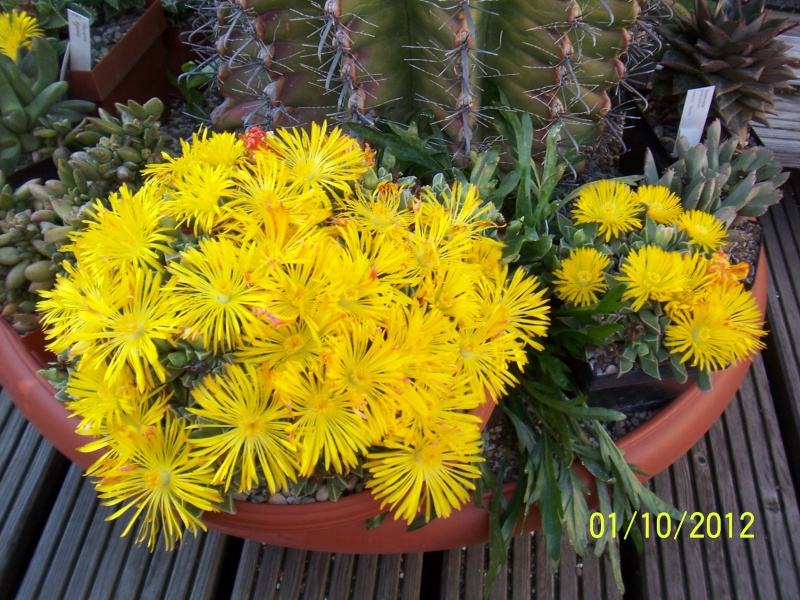 Cacti and Sukkulent in Köln, every day new flowers in the greenhouse Part 38 Bild_737