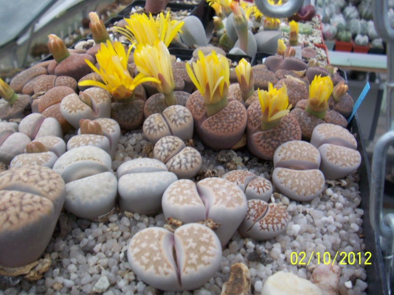 Cacti and Sukkulent in Köln, every day new flowers in the greenhouse Part 38 Bild_739