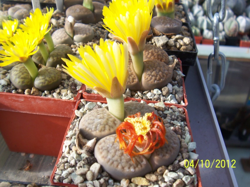 Cacti and Sukkulent in Köln, every day new flowers in the greenhouse Part 38 Bild_746