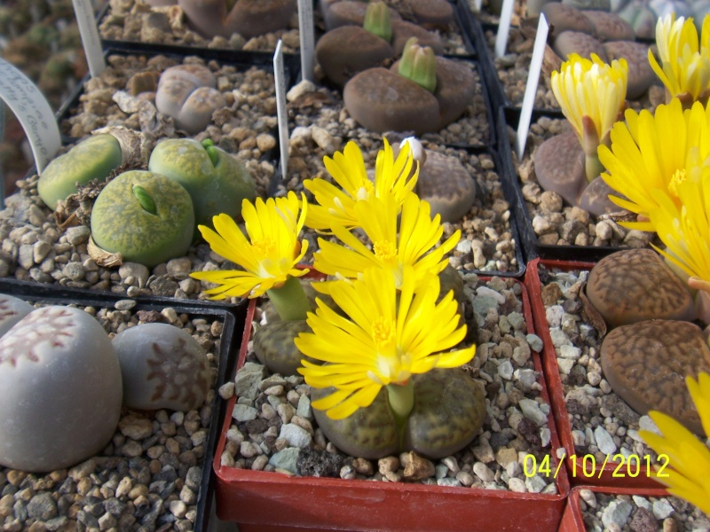 Cacti and Sukkulent in Köln, every day new flowers in the greenhouse Part 38 Bild_747