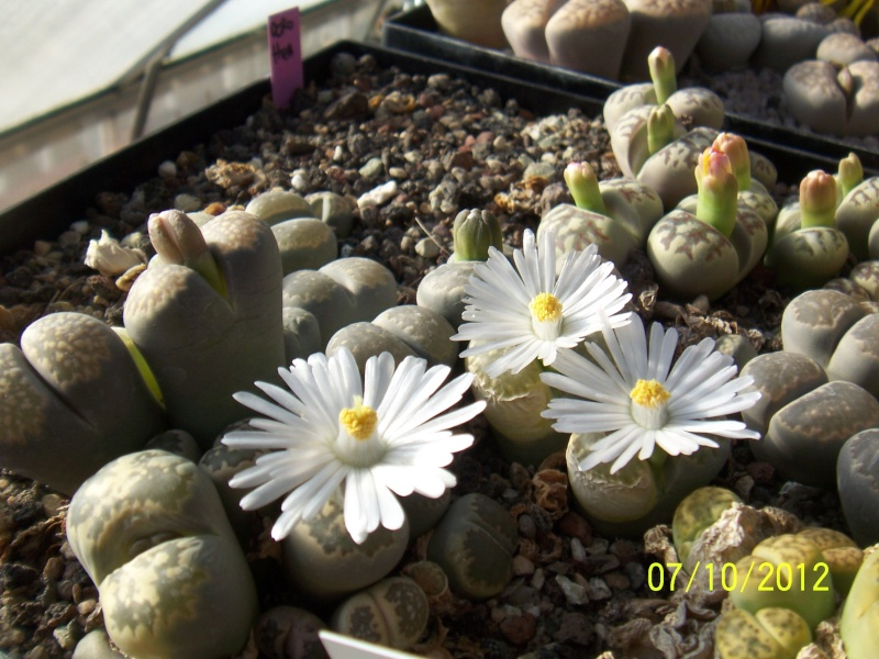 Cacti and Sukkulent in Köln, every day new flowers in the greenhouse Part 38 Bild_749