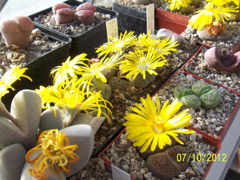 Cacti and Sukkulent in Köln, every day new flowers in the greenhouse Part 38 Bild_750