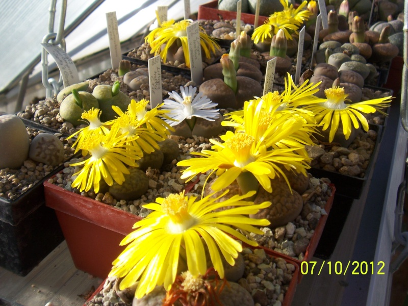 Cacti and Sukkulent in Köln, every day new flowers in the greenhouse Part 38 Bild_751