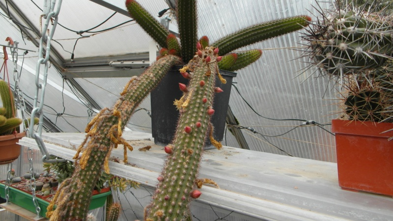 Cacti and Sukkulent in Köln, every day new flowers in the greenhouse Part 39 Bild_759
