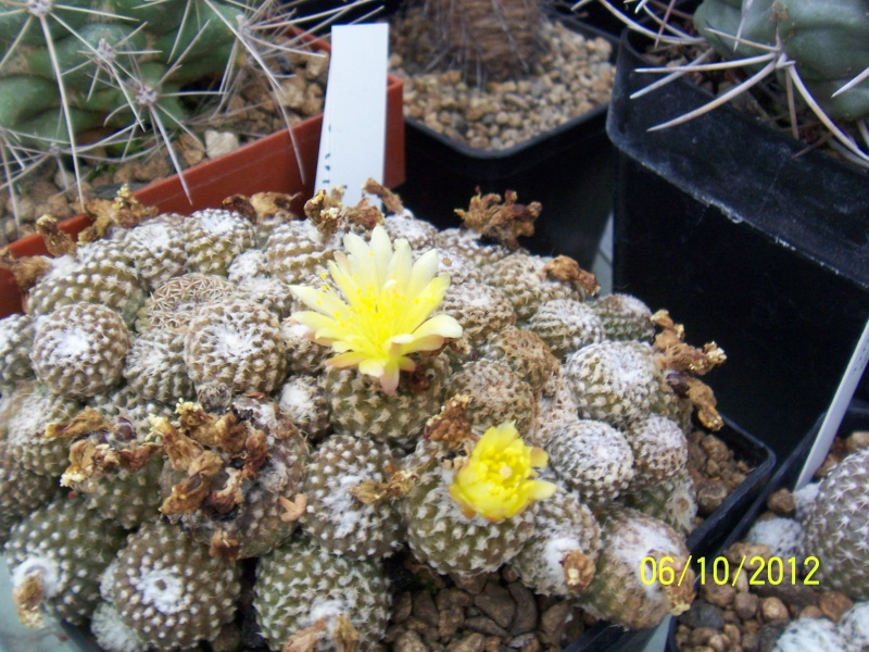 Cacti and Sukkulent in Köln, every day new flowers in the greenhouse Part 39 Bild_773