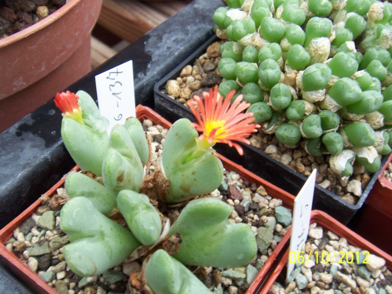 Cacti and Sukkulent in Köln, every day new flowers in the greenhouse Part 39 Bild_777