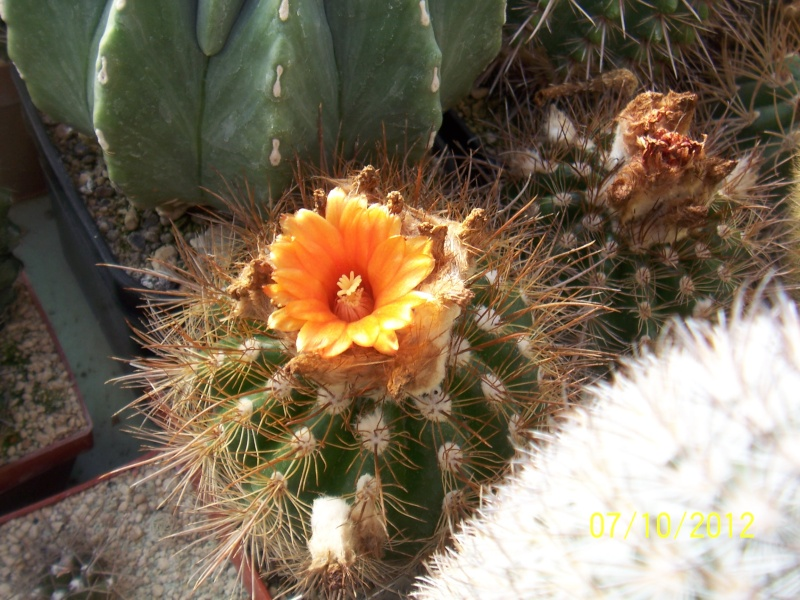 Cacti and Sukkulent in Köln, every day new flowers in the greenhouse Part 39 Bild_781
