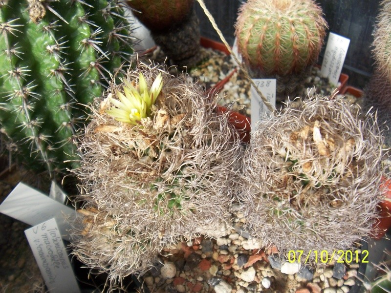 Cacti and Sukkulent in Köln, every day new flowers in the greenhouse Part 39 Bild_785