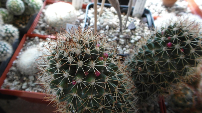 Cacti and Sukkulent in Köln, every day new flowers in the greenhouse Part 39 Bild_789