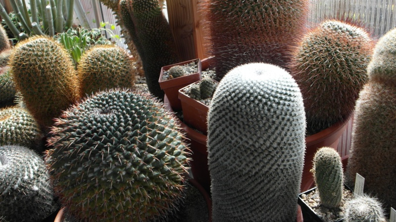Cacti and Sukkulent in Köln, every day new flowers in the greenhouse Part 39 Bild_793