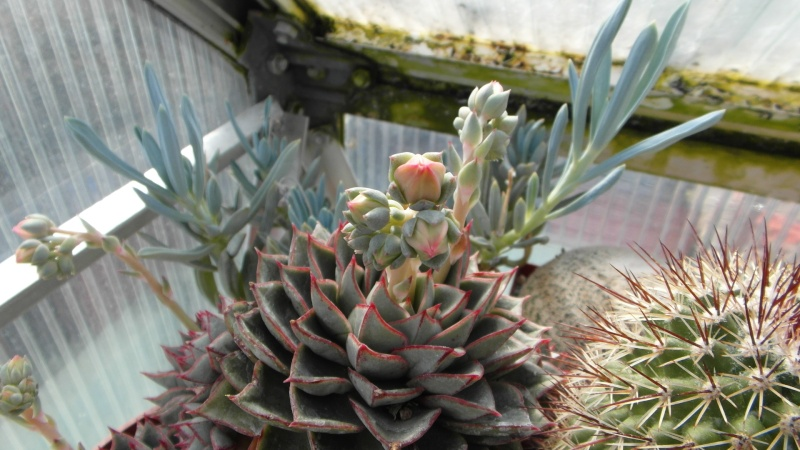 Cacti and Sukkulent in Köln, every day new flowers in the greenhouse Part 39 Bild_802