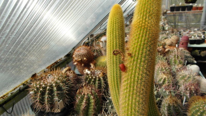 Cacti and Sukkulent in Köln, every day new flowers in the greenhouse Part 39 Bild_803