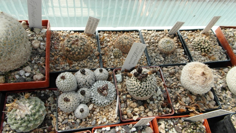 Cacti and Sukkulent in Köln, every day new flowers in the greenhouse Part 39 Bild_805