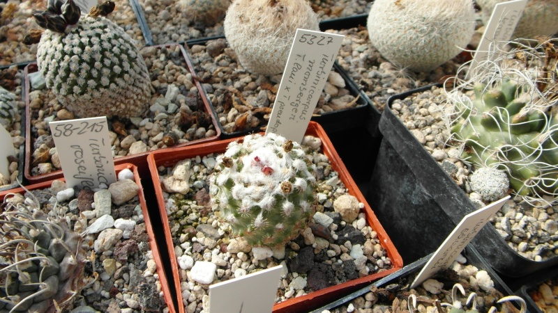 Cacti and Sukkulent in Köln, every day new flowers in the greenhouse Part 39 Bild_806