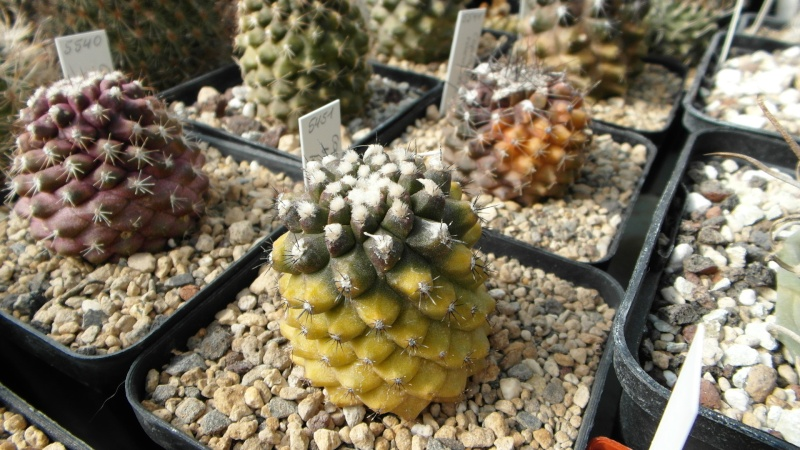 Cacti and Sukkulent in Köln, every day new flowers in the greenhouse Part 39 Bild_807