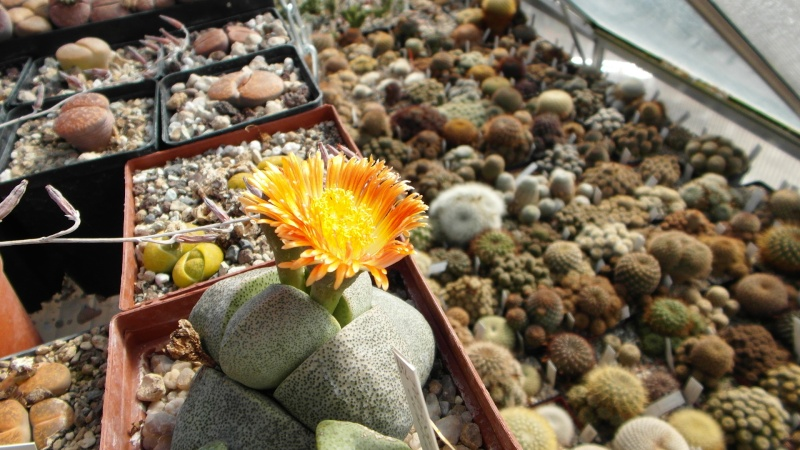 Cacti and Sukkulent in Köln, every day new flowers in the greenhouse Part 39 Bild_810